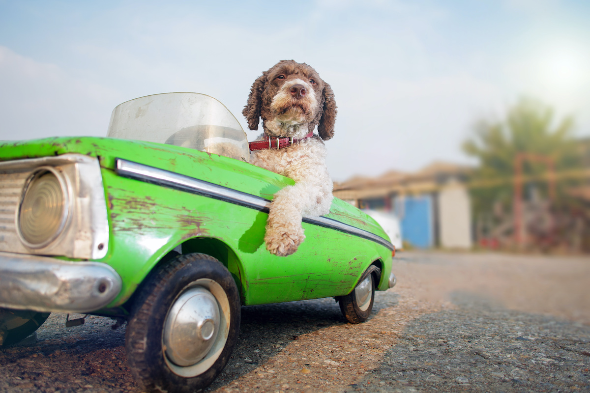 dog driving mini car to promote road safety